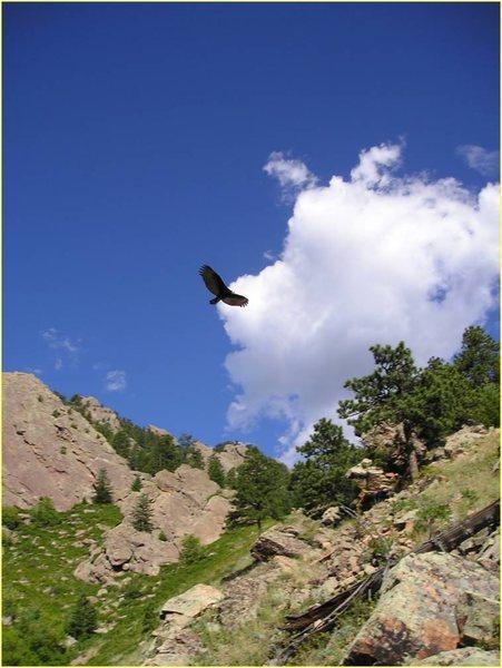 Prairie falcon near Hillybilly Rock.