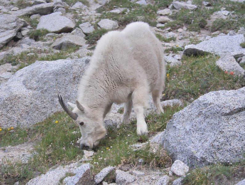 Rock Climbing Photo: Mountain goat near Aasgard Pass