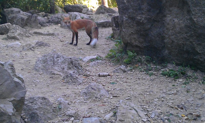 Red fox that seems to love craisins.