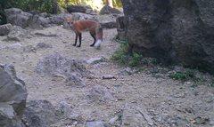 Rock Climbing Photo: Red fox that seems to love craisins.