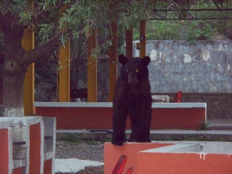 Bear in the picnic grounds, Sept. 7, 2011