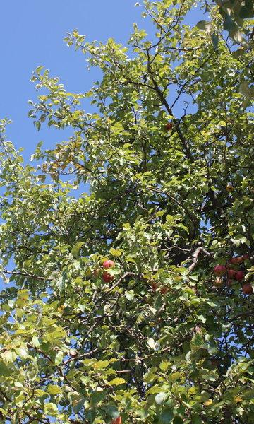 parkway apples