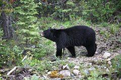 Rock Climbing Photo: Black Bear in Banff National Park
