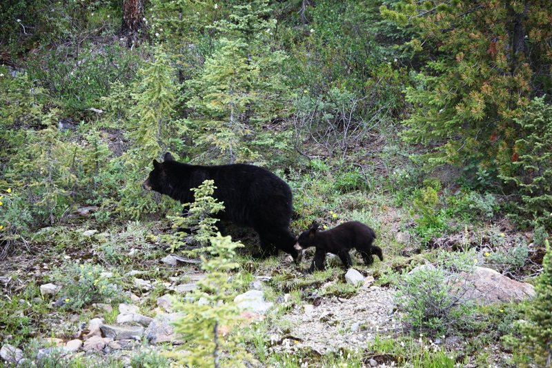 Rock Climbing Photo: Black Bear and cub in Banff National Park