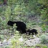 Black Bear and cub in Banff National Park