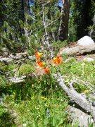 Rock Climbing Photo: Alpine Lily (Lilium parvum)  Cathedral Lakes, Yose...