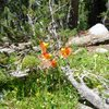 Alpine Lily (Lilium parvum)<br> <br> Cathedral Lakes, Yosemite National Park