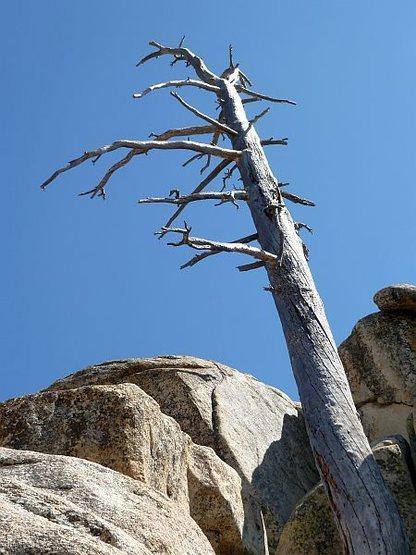 Rock Climbing Photo: An old snag near Wally World, Keller Peak