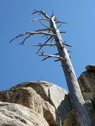 Rock Climbing Photo: An old snag near Wally World, Keller Peak