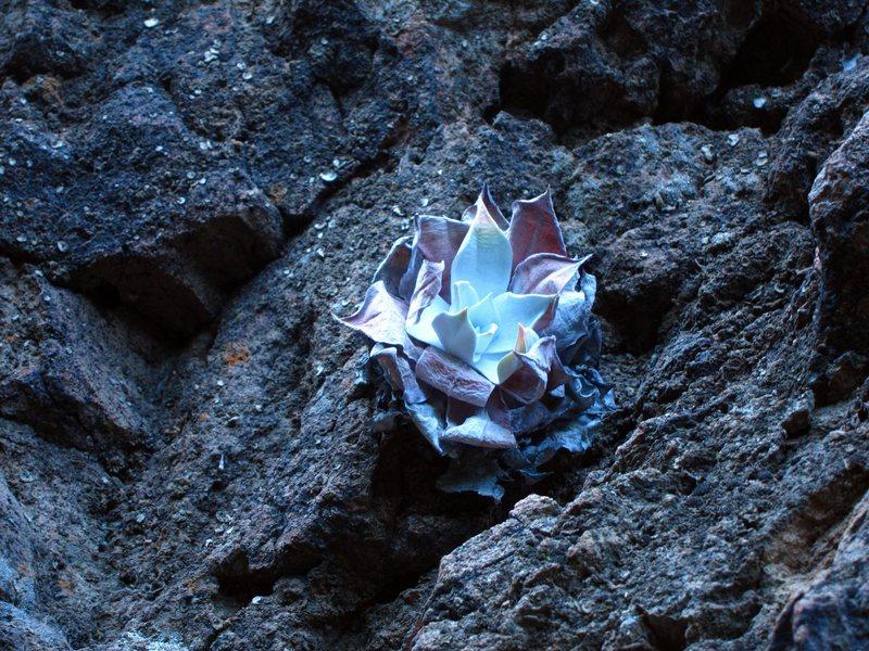 Rock Climbing Photo: Dudleya pulverulenta, or chalk lettuce, photograph...