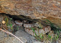 Rock Climbing Photo: One of three rattlers encountered on our approach ...