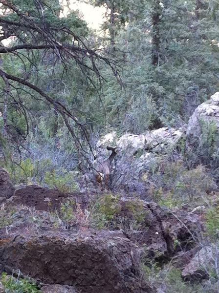 Rock Climbing Photo: Deer