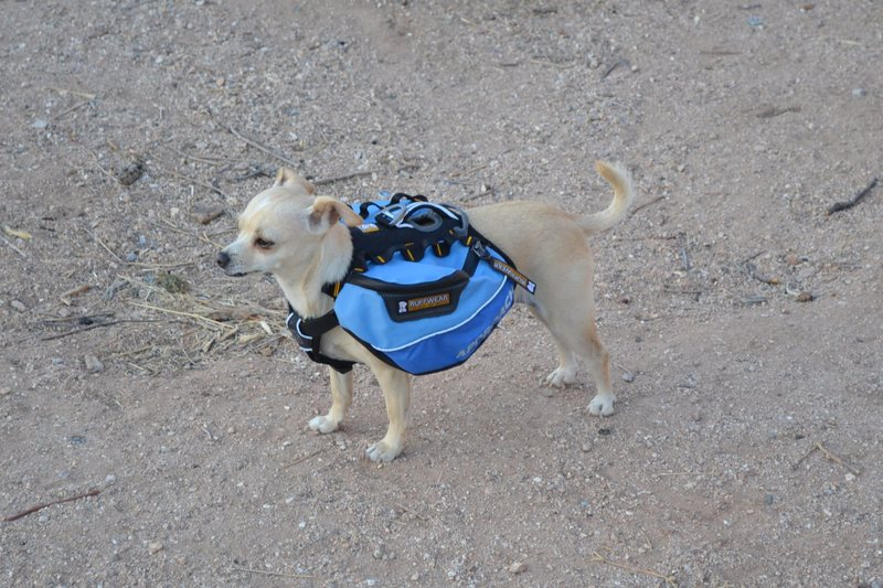 Aint nothin like a chihuahua with a backpack. Someone's got to carry the beer