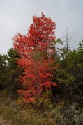 Rock Climbing Photo: Maples turning color in fall