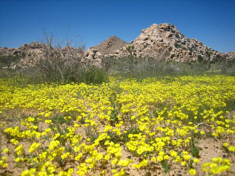 Rock Climbing Photo: amazing wildflowers in 2008!  peyote crack area.