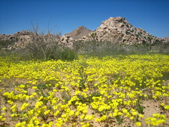Rock Climbing Photo: amazing wildflowers in 2008!  peyote crack area.
