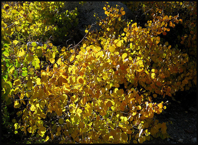 Aspen leaves.<br> Photo by Blitzo.