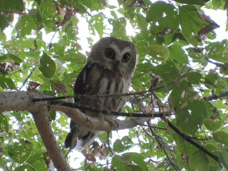Owl, hanging out in a tree, at the Canal Zone.
