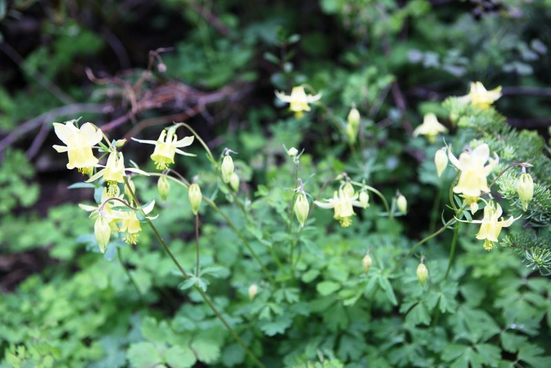 Coville's Columbine (Aquilegia pubescens) <br> <br> Plain of Six Glaciers, Banff National Park