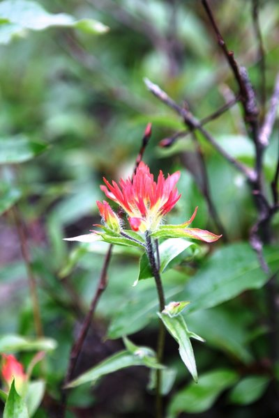 Paintbrush (castille ja spp.)<br> <br> Plain of Six Glaciers, Banff National Park
