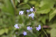 Rock Climbing Photo: Forget-me-Not (Myosotis sylvatica)  Plain of Six G...