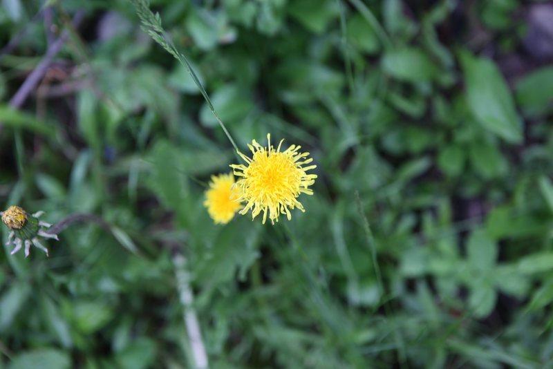Rock Climbing Photo: Narrow-leaved hawkweed (Hieracium umbrellatum)  Pl...