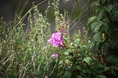 Rock Climbing Photo: Fireweed (Chamerion augustifolium)  Peyto Lake, Ba...