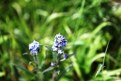 Rock Climbing Photo: Forget-me-Not (Myosotis sylvatica)  Kamloops Regio...