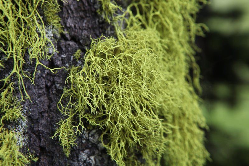 Not a wildflower but beautiful all the same.<br> <br> Wolf Lichen (Letharia vulpina)<br> <br> Kamloops Region, British Columbia