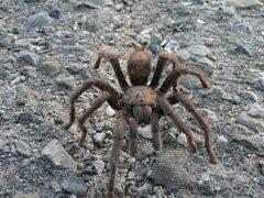Rock Climbing Photo: Owl Tor Tarantula