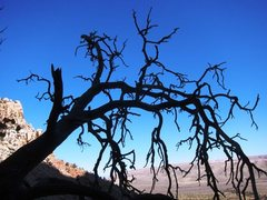 Rock Climbing Photo: Dead tree atop Bad Moon Arising