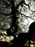 Rock Climbing Photo: One of the many amazing trees along growing around...
