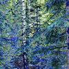 Jenny Lind Trees