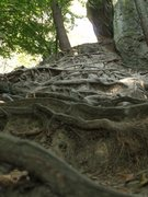 Rock Climbing Photo: Really cool looking roots exposed by erosion on th...