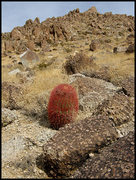 Rock Climbing Photo: There are lots of red barrel cacti in the area. Ph...
