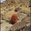 There are lots of red barrel cacti in the area.<br> Photo by Blitzo.