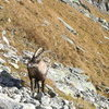 Hooved company at the base of the Pfriendler climbing area on the Sustenpass