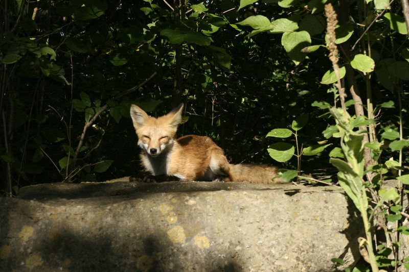 Friendly fox that doesn't seem to get to scared out here around the Bluffs