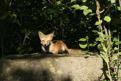 Rock Climbing Photo: Friendly fox that doesn't seem to get to scared ou...
