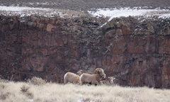 Rock Climbing Photo: Small herd of Bighorn at rim.  Bob D'Antonio Photo