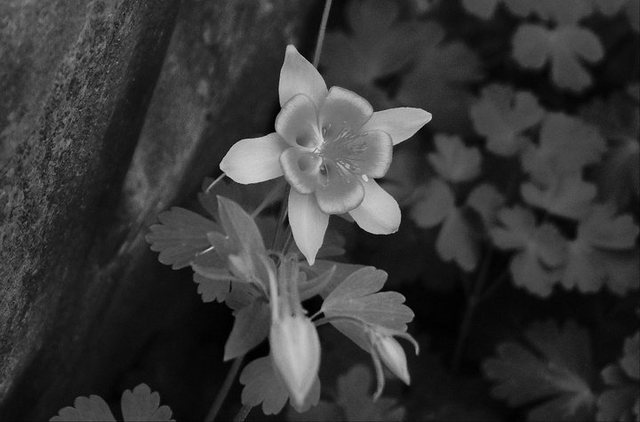 Columbine at the base of Giardia Crack, Left Wall.