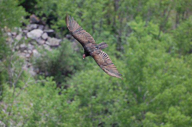 Rock Climbing Photo: Turkey Vulture