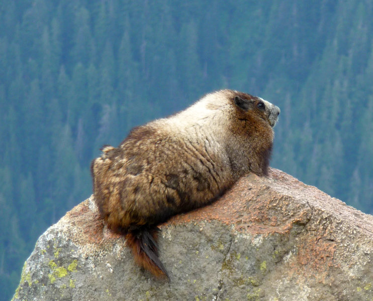 The Silver-Back Marmot