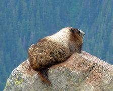 Rock Climbing Photo: The Silver-Back Marmot