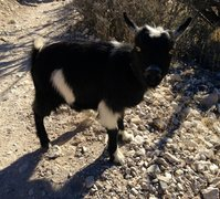 Rock Climbing Photo: A pet goat hiking right along, with it's owner on ...