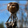 Dragonfly.<br> Photo by Blitzo.