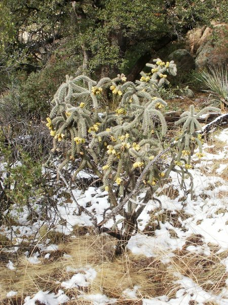 Rock Climbing Photo: Cholla in bloom - Cochise Stronghold, AZ