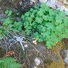 The quite rare Laramie Columbine (Aquilegia laramiens) grows on several sites within the LPWMHA.