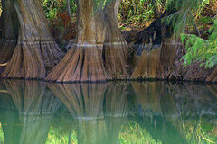 Rock Climbing Photo: Sabino tree roots at the edge of the Río Nazas