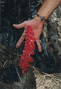 Rock Climbing Photo: Snow Plant found growing near recent forest fire. ...